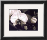 Orchid Simplicity Prints by Mark Castiglia