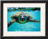 Honu, Turtle Posters by Kirk Lee Aeder