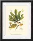 Sassafras Prints by  Sprague