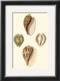 Cymbidum Shells Prints by Lovell Reeve