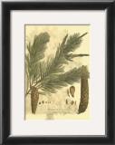 Antique Weymouth Pine Tree Posters by  John Miller (Johann Sebastien Mueller)