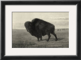 American Bison Print by R. Hinshelwood