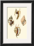 Strombus Shells Posters by Lovell Reeve