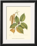 Black Birch Print by  Sprague