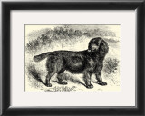 Sussex Spaniel Posters