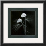 Calla Lilies Posters by Alfred Gockel