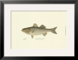 Striped Bass Prints by  Denton