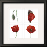 Metamorphosis of the poppy Prints by Nuridsany & Perennou