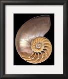 Chambered Nautilus Posters by Harold Feinstein
