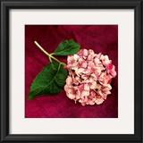 Pink Hydrangea Print by Celine Sachs-jeantet