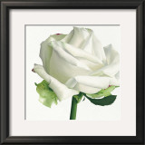 White Rose I Prints by Stephanie Andrew