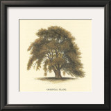 Oriental Plane Prints by Samuel Williams