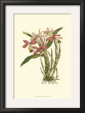 Blushing Orchids II Posters by  Van Houtt
