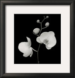 Two Orchids and Five Buds Print by Mary Bushweller