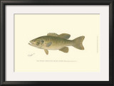 Small-Mouthed Black Bass Posters by  Denton