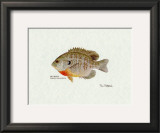 Bluegill Fish Prints by Ron Pittard