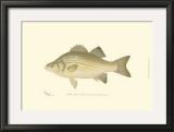 White Bass Prints by  Denton