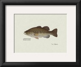 Largemouth Bass Fish Prints by Ron Pittard