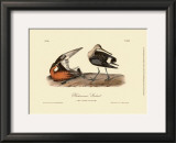 Hudsonian Godwit Posters by John James Audubon