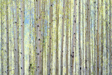 Aspen Prints by Shelley Lake