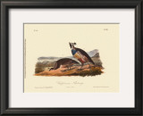 California Partridge Prints by John James Audubon