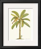 Banana Plant Print by Georg Dionysius Ehret
