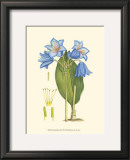 Periwinkle Blooms II Poster by Samuel Curtis