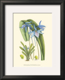 Periwinkle Blooms IV Print by Samuel Curtis