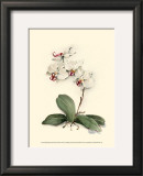 Phalaenopsis Red Throat Orchid Prints by Joy Waldman