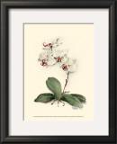 Phalaenopsis Red Throat Orchid Prints by Joy Waldman