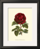 Magnificent Rose III Posters by Ludwig Van Houtte