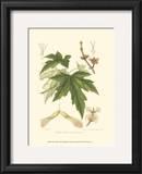 White Maple Print by  Sprague