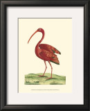 Red Ibis Prints by Frederick P. Nodder