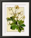 Helleborus Prints by Anna Martin