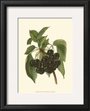 Black Cherries Print by John Wright