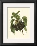 Black Cherries Print by John Wright