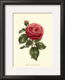 Magnificent Rose V Posters by Ludwig Van Houtte