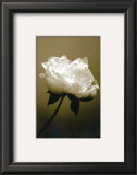 Peony I Print by Chris Sands