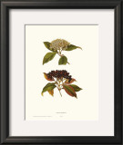 Naked Viburnum Posters