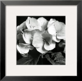 Hydrangea Prints by Darlene Shiels