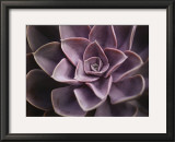 Echeveria I Prints by Andrew Levine