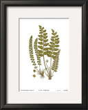 Sea Spleenwort Prints by Marine 