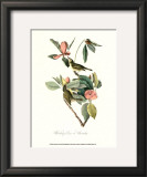Vireo Posters by John James Audubon