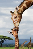 Giraffe Kissing Baby Poster