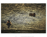 Mattez Un Canard Sur Un Lac Posters by Graham Rhodes