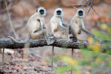 Gray Langurs on Tree Posters