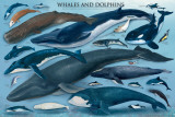 Whales and Dolphins - Poster