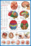 The Brain Posters