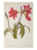 Amaryllis Brasiliensis, from `Les Liliacees' by Pierre Redoute, 8 Volumes, Published 1805-16, Giclee Print by P.j. Redoute