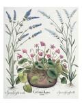 Cyclamen and Lavender: 1Cyclamen Romanum; 2Spica Vulgaris Flore Albo; 3Spica Vulgaris Flore Ceruleo Giclee Print by  German School